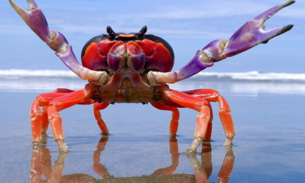 I'm Writing About The World's Scariest Crabs And Nobody Can Stop Me!!!